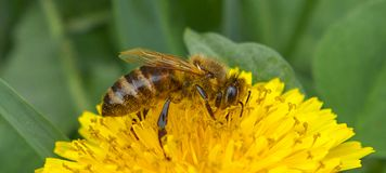 Abeja de la miel en el diente de león Abeja de la miel que poliniza en prado de la primavera Fotografía de archivo libre de regalías