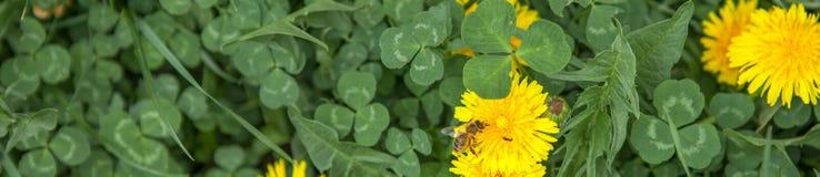 Abeja de la miel en el diente de león Abeja de la miel que poliniza en prado de la primavera Imágenes de archivo libres de regalías
