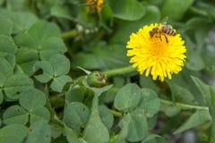 Abeja de la miel en el diente de león Abeja de la miel que poliniza en prado de la primavera Imagen de archivo