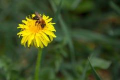 Abeja de la miel en el diente de león Abeja de la miel que poliniza en prado de la primavera Fotos de archivo
