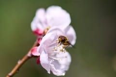 Abeja de la miel en el flor de cereza Imagenes de archivo