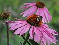 Abeja de la miel en el flor de un coneflower púrpura Fotografía de archivo libre de regalías