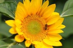 Abeja de la miel en el girasol Fotografía de archivo