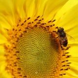 Abeja de la miel en el girasol Imagen de archivo libre de regalías