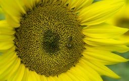 Abeja de la miel en el girasol Foto de archivo libre de regalías