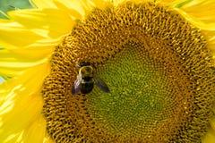 Abeja de la miel en el girasol Imágenes de archivo libres de regalías