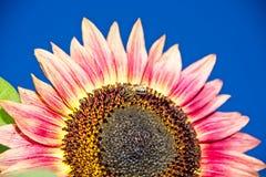 Abeja de la miel en el girasol rosado Fotos de archivo