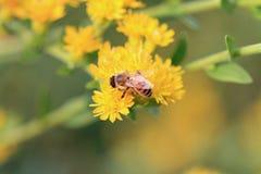 Abeja de la miel en el trabajo Imagenes de archivo