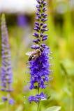 Abeja de la miel en el Veronica azul Fotos de archivo libres de regalías