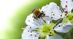 Abeja de la miel en la flor de cerezo blanca Fotografía de archivo