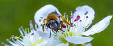 Abeja de la miel en la flor de cerezo blanca fotografía de archivo libre de regalías