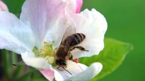 Abeja de la miel en la flor del árbol frutal, polinizando almacen de video