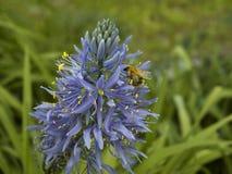 Abeja de la miel en la flor del agapanthus Fotografía de archivo