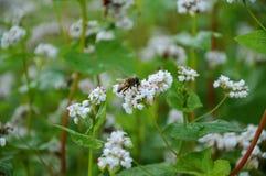 Abeja de la miel en la flor del alforfón Foto de archivo