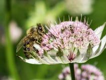 Abeja de la miel en flor del astrantia Imagenes de archivo