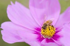 Abeja de la miel en la flor del cosmos Foto de archivo libre de regalías