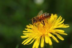 Abeja de la miel en la flor del diente de león en el prado de la primavera Foto de archivo libre de regalías
