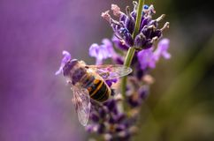 Abeja de la miel en la flor de la lavanda que recoge el polen y el néctar, Apis Imagen de archivo libre de regalías