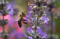 Abeja de la miel en la flor de la lavanda que recoge el polen y el néctar, Apis Fotos de archivo libres de regalías