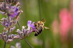 Abeja de la miel en la flor de la lavanda que recoge el polen y el néctar, Apis Imágenes de archivo libres de regalías