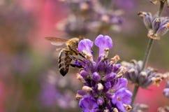 Abeja de la miel en la flor de la lavanda que recoge el polen y el néctar, Apis Imagenes de archivo