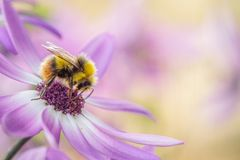 Abeja de la miel en la flor púrpura Imagenes de archivo
