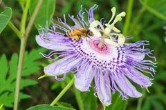 Abeja de la miel en la flor de la pasión Imagenes de archivo