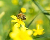 Abeja de la miel en la flor que recoge el polen imagen de archivo