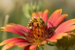 Abeja de la miel en la flor roja, cierre encima de la macro Fotos de archivo libres de regalías