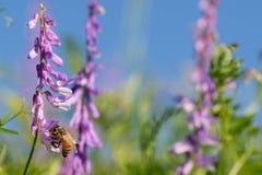 Abeja de la miel en la flor de la Vicia Imagen de archivo libre de regalías