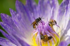 Abeja de la miel en la floración de la flor del lirio de agua Imágenes de archivo libres de regalías