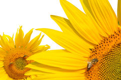 Abeja de la miel en girasoles Fotos de archivo libres de regalías