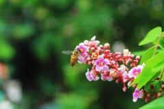 Abeja de la miel en la hoja verde Fotos de archivo libres de regalías