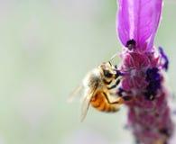 Abeja de la miel, en la arveja copetuda (cracca de la Vicia) Fotos de archivo libres de regalías