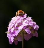 Abeja de la miel en la cabeza de flor Fotografía de archivo
