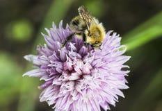 Abeja de la miel en la cabeza de flor de la cebolleta Foto de archivo libre de regalías