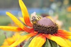 Abeja de la miel en la flor Fotos de archivo
