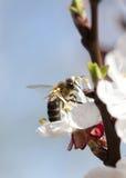 Abeja de la miel en la flor Fotos de archivo libres de regalías
