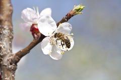 Abeja de la miel en la flor Imagenes de archivo