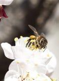 Abeja de la miel en la flor Fotografía de archivo libre de regalías