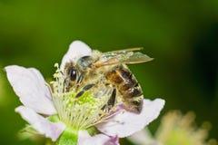 Abeja de la miel en la flor Foto de archivo libre de regalías