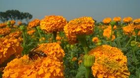 Abeja de la miel en la flor Imagen de archivo libre de regalías