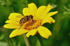 Abeja de la miel en la flor amarilla Foto de archivo