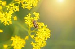 Abeja de la miel en la flor amarilla Imágenes de archivo libres de regalías