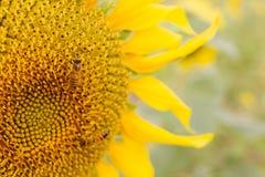 Abeja de la miel en la flor amarilla Imagen de archivo