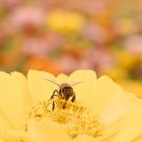 Abeja de la miel en la flor amarilla Imagen de archivo libre de regalías