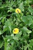 Abeja de la miel en la flor amarilla Imagenes de archivo
