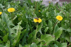 Abeja de la miel en la flor amarilla Foto de archivo libre de regalías