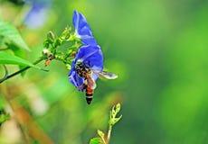 Abeja de la miel en la flor azul Foto de archivo