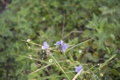 Abeja de la miel en la flor azul de Commelina Cyanea Imagenes de archivo